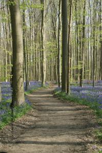 Entering the Bluebell Forest