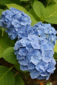Hydrangeas in my Garden