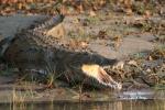 Crocodile on the Bank of the Zambezi