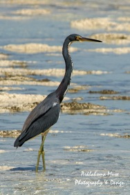 Bahamian Great Blue Heron