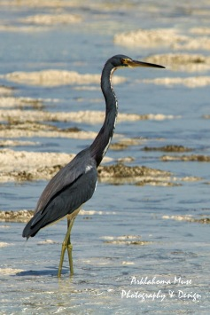 Bahamian Great Blue Heron