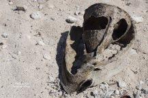 Conch Skull