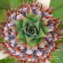 https://fineartamerica.com/featured/pineapple-squared-brandy-herren.html