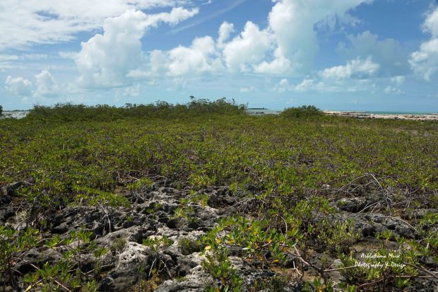 Young Mangrove at Low Tide