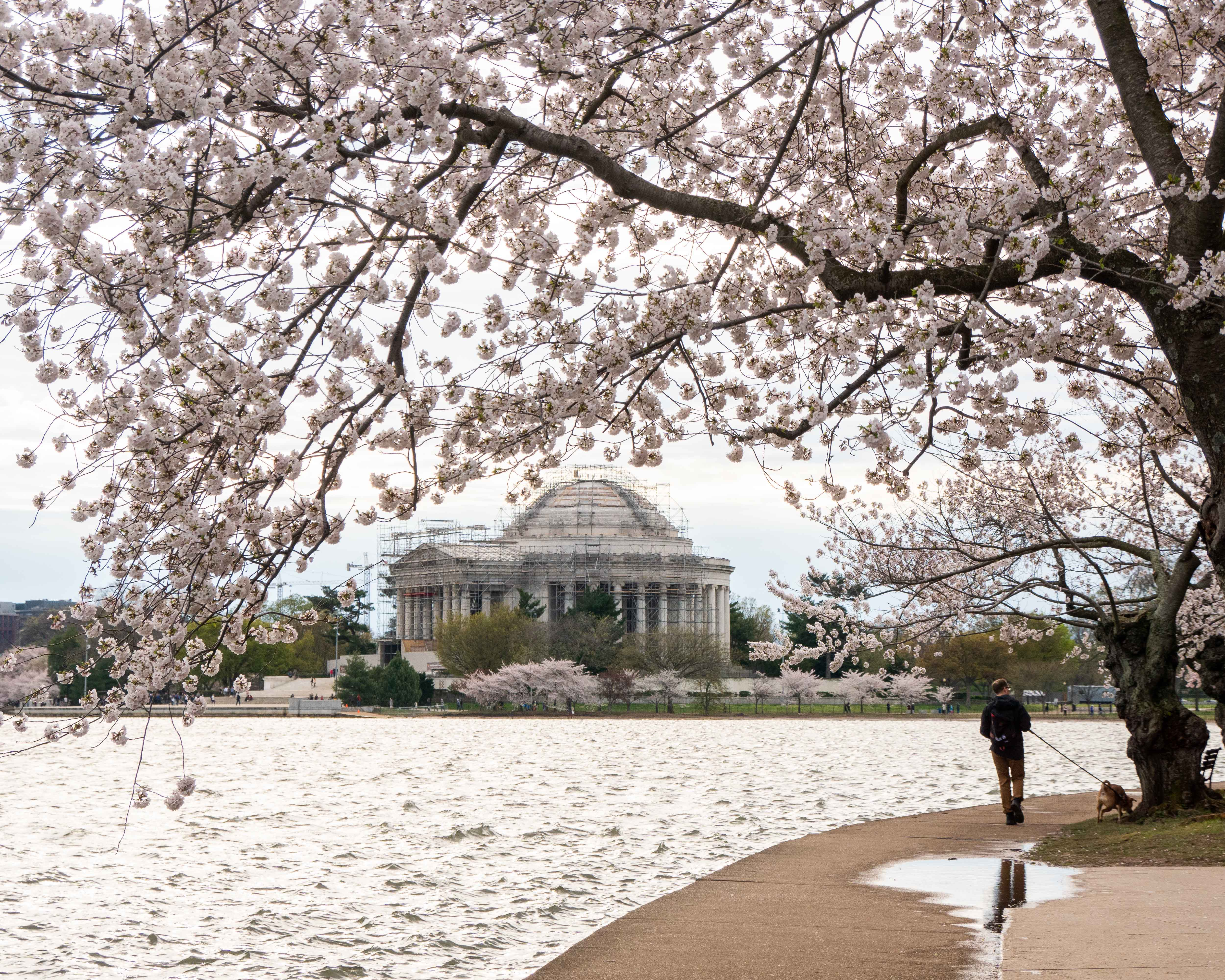 Jefferson Memorial, cherry blossoms, tidal basin, spring, Washington, DC